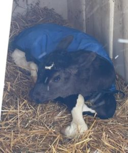 Holstein calf wearing a blue jacket laying on straw in an enclosed hut
