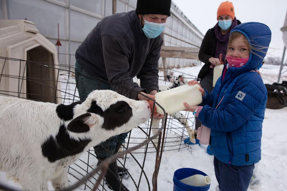 little girl with a mask feeding a bottle to a Holstein calf with a man and woman in masks standing behind her