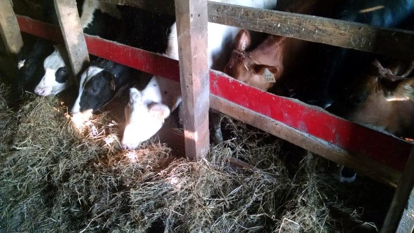 Calves Eating Hay