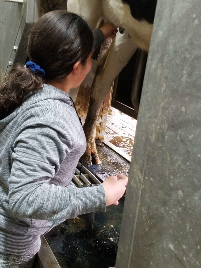girl milking a cow