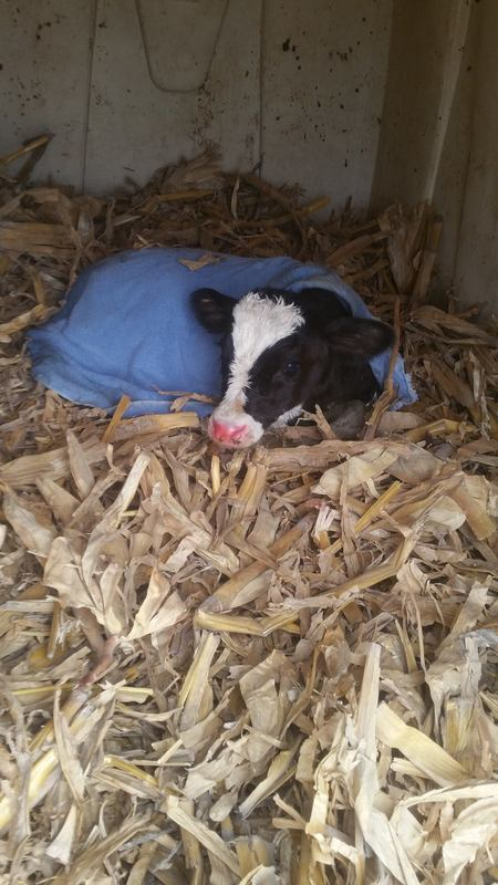 Calf in Corn Stalk Bedded Hut