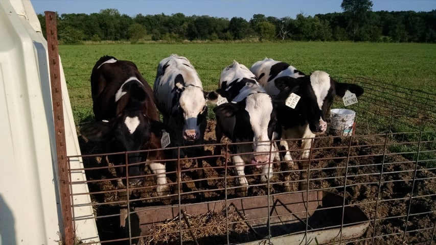 Calves in Group Hut