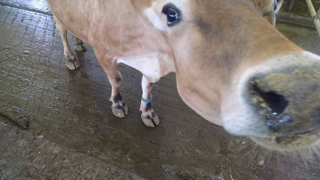 Jersey with her RFID anklet