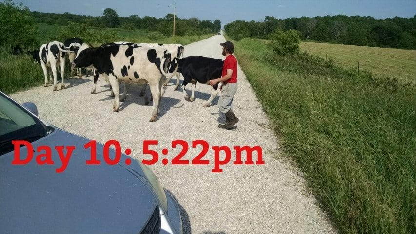Heifers on the Road