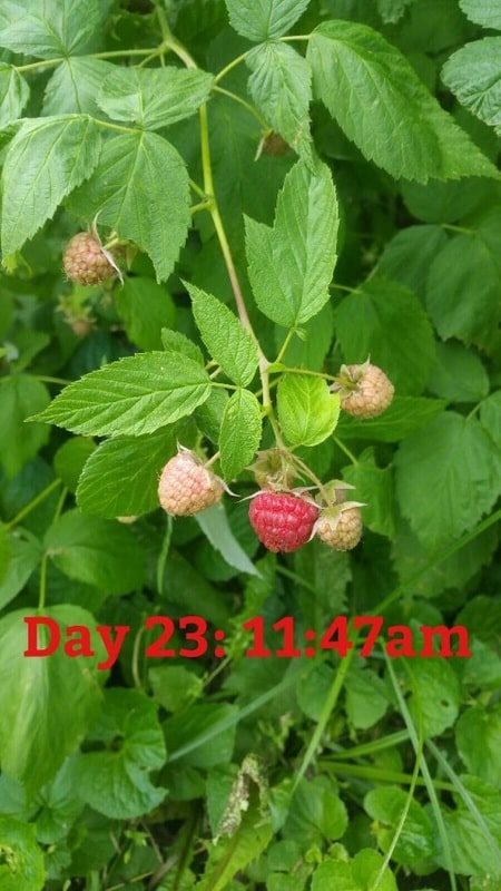 First Raspberries of the Season
