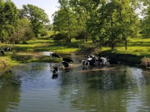 Cows wading in a creek with green grass river banks