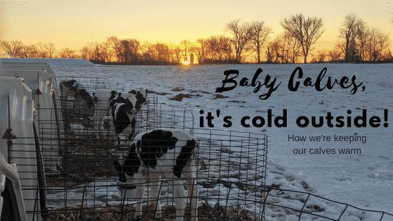 Calves Outside in the Winter