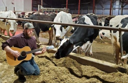 Large barn with many large black and white dairy cows eating while a man serenades them with a guitar