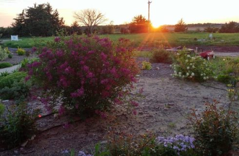 Large bush with purple flowers, large bush with white flowers, and many other green plants in a large flower garden with the sun setting in the background