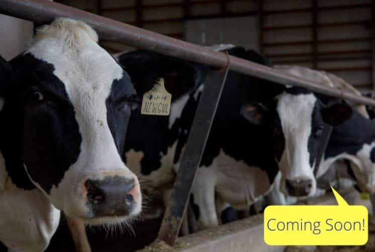 Many black and white dairy cows in a row eating at a trough with a coming soon sign