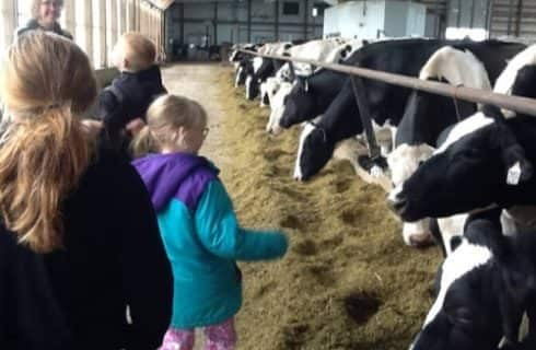 Kids in a large barn with many black and white dairy cows eating